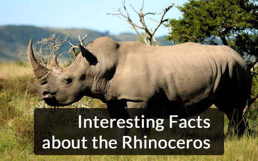 Interesting Facts about the Rhinoceros that will Astonish You
