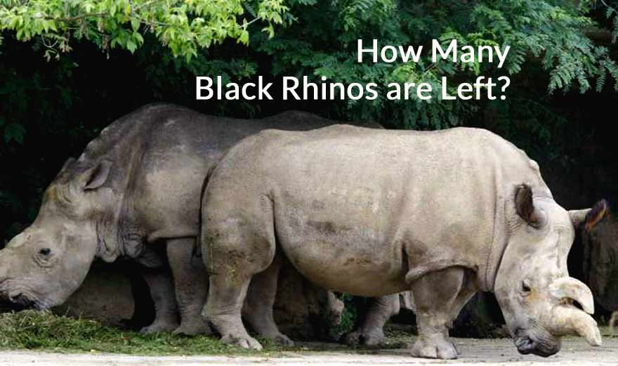 How many black rhinos are left in the world 2019?