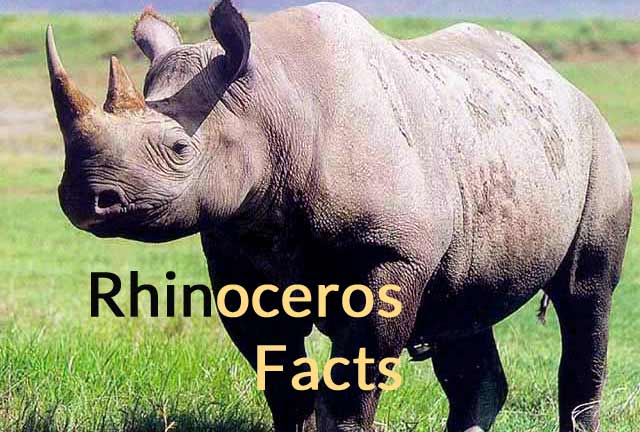 Rhinoceros Facts and Meaning – Interesting Information about Rhino