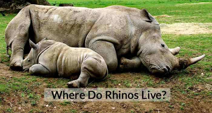 Where Do Rhinos Live – What Country Do Rhinos Live In?
