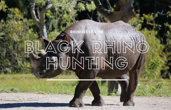 Black Rhino Hunting – Why are Black Rhinos Hunted?