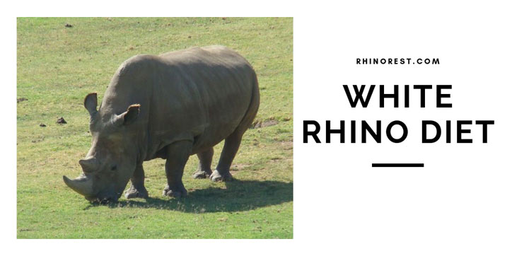 White Rhino Diet – How much do White Rhinos Eat?