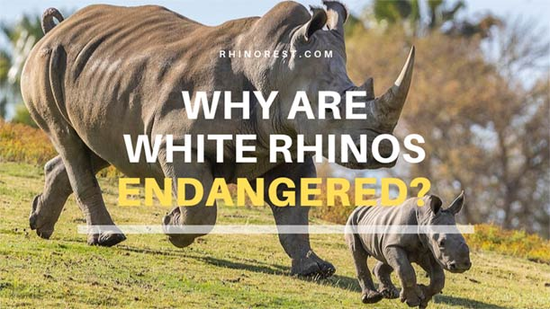 Why are White Rhinos Endangered