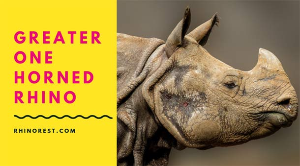 Greater One Horned Rhino Facts and Features