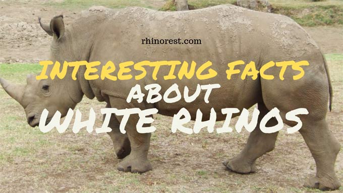 Interesting Facts about White Rhinos