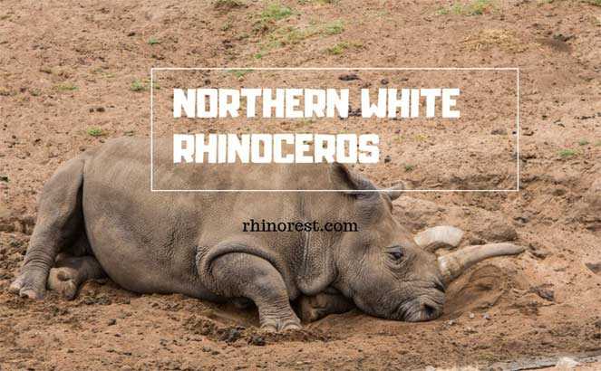 Northern White Rhinoceros – Northern White Rhino Facts