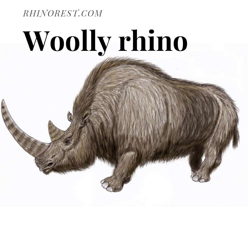 Woolly Rhino – Extinct Mammal Woolly Rhinoceros
