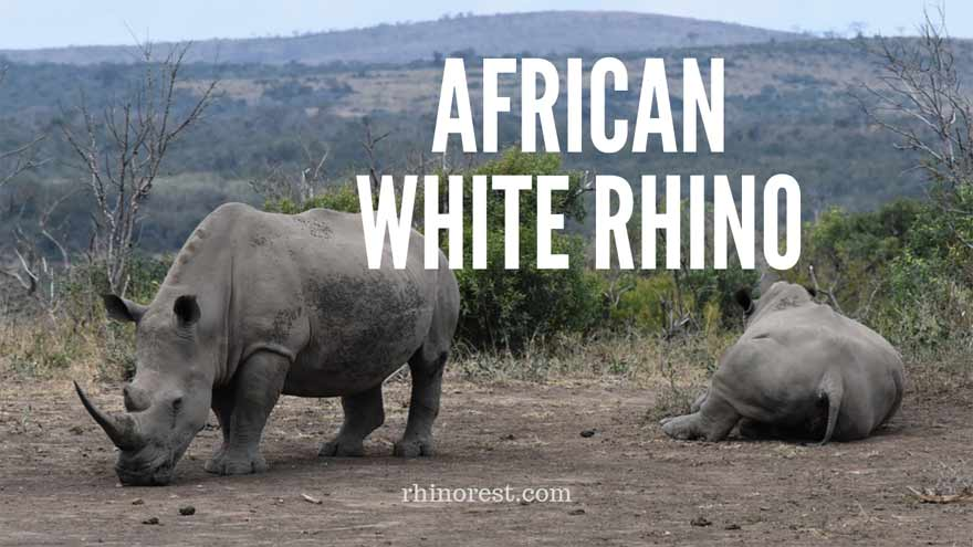 African White Rhino – Steps to Brought Back From the Brink