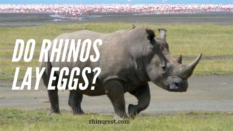 Do Rhinos lay Eggs – How do Rhinos Reproduce?