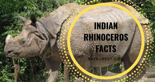 Indian Rhinoceros Facts – Greater one horned Rhinoceros