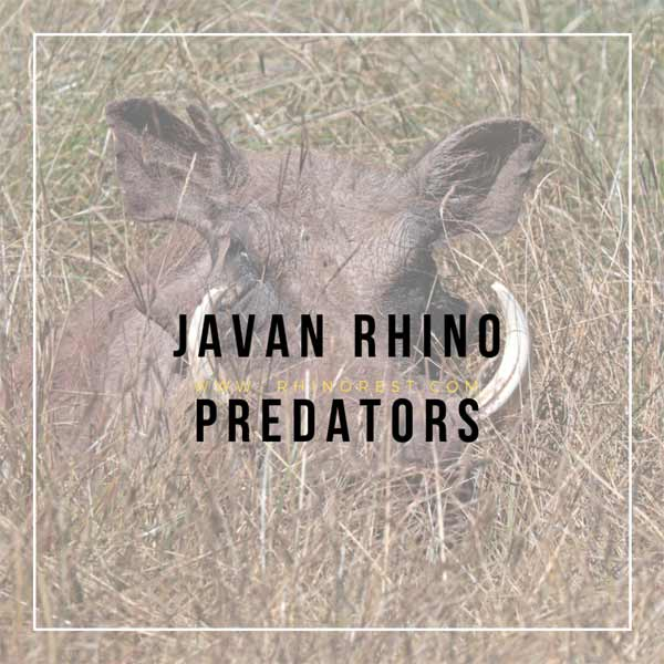 Javan Rhino Predators – What Animal can Kill a Rhino?