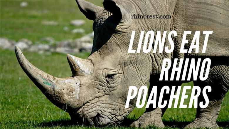lions eat rhino poachers