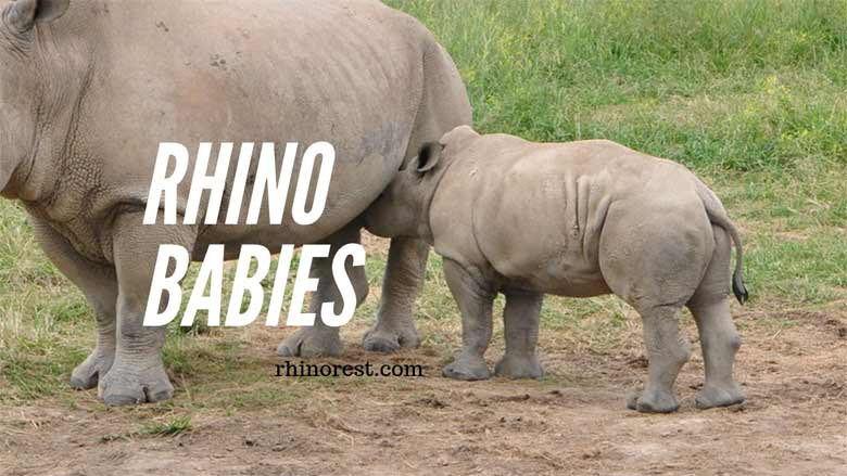 Rhino Babies – What do you Call a Baby Rhino?