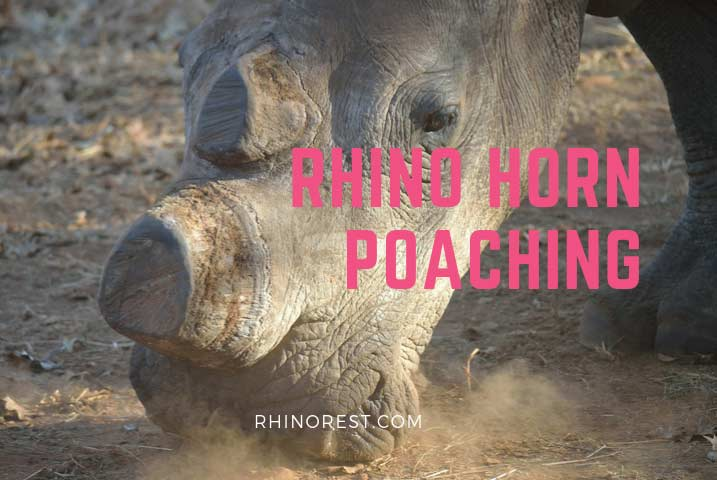 Rhino Horn Poaching – Who buys rhino horns?