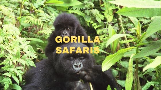 Gorilla Safaris – Guideline | Cost | Spots | Time | Plan