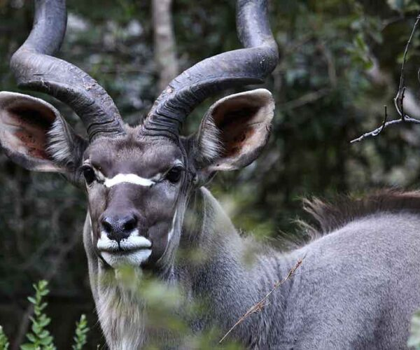 22 African Horned Deer Species – Grandeur | Aristocracy