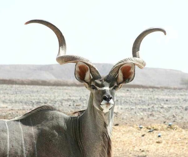 17 Animals with Horns that Stand Out with Pride