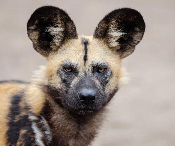 African Wild Dogs – Profile | Facts | Pet | Traits | Behavior | Prey