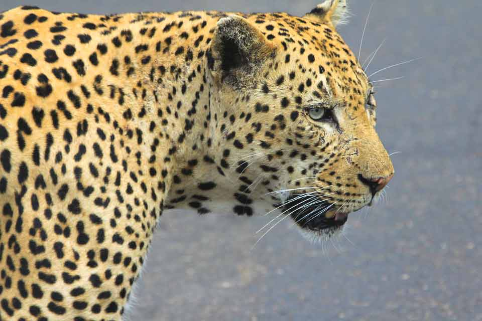 African Leopard Interesting, Fun, Amazing Facts and Information