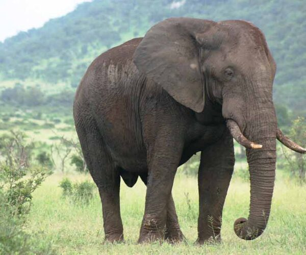 African Elephant Facts – Profile | Traits | Habitat | Tusk | Behavior