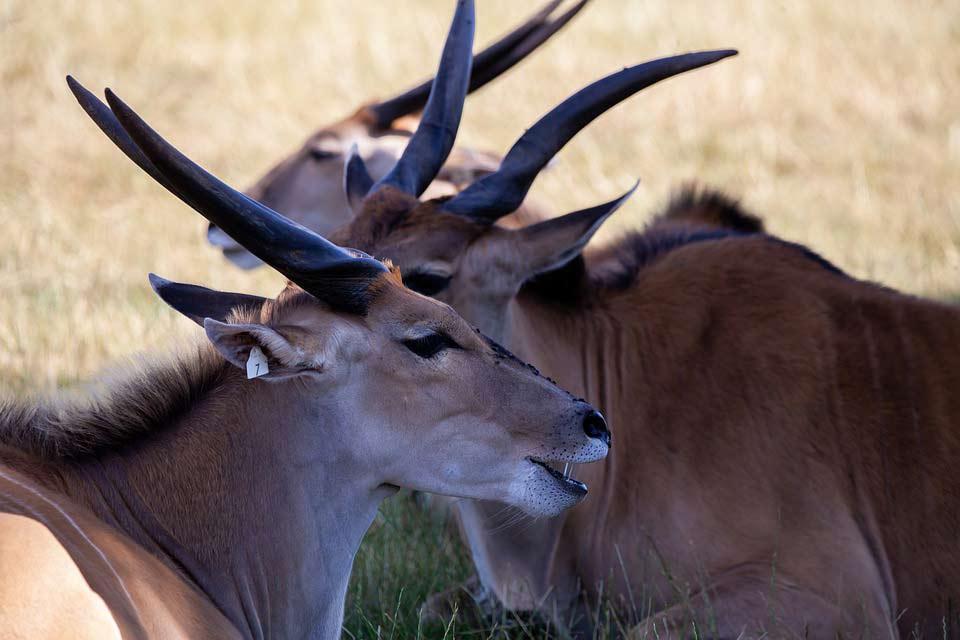 Common Eland – Profile | Facts | Traits | Behavior | Habitat | Diet