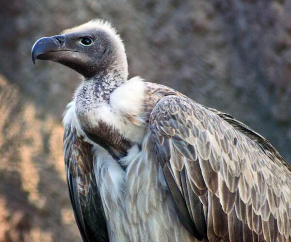 Vultures Facts – Profile | Traits | Behavior | Appearance | Prey